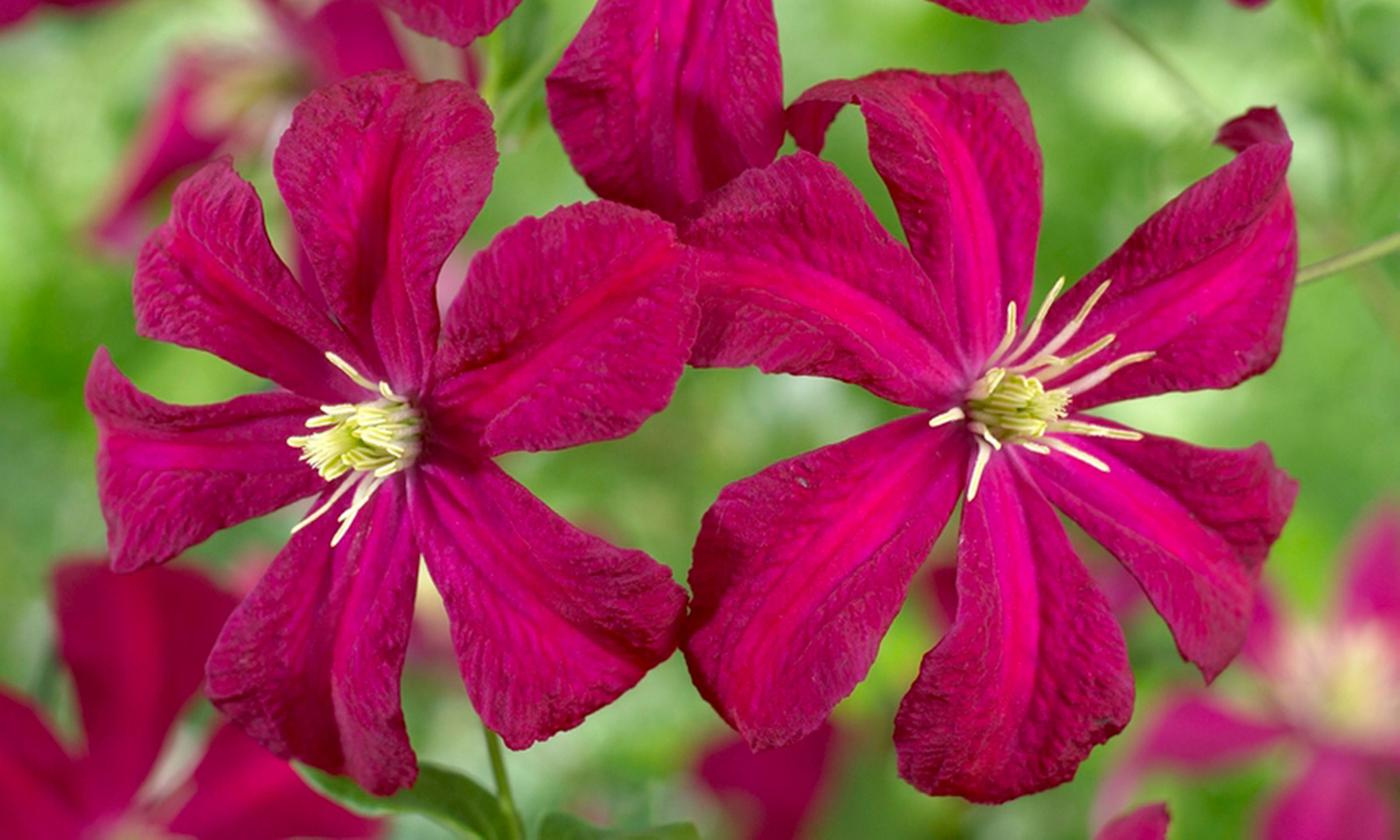 Collection of Three Repeat Flowering Clematis Plants