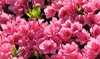 Azalea-bloemenset