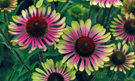 Three, Six or Twelve Hardy Echinacea Green Twister Plants