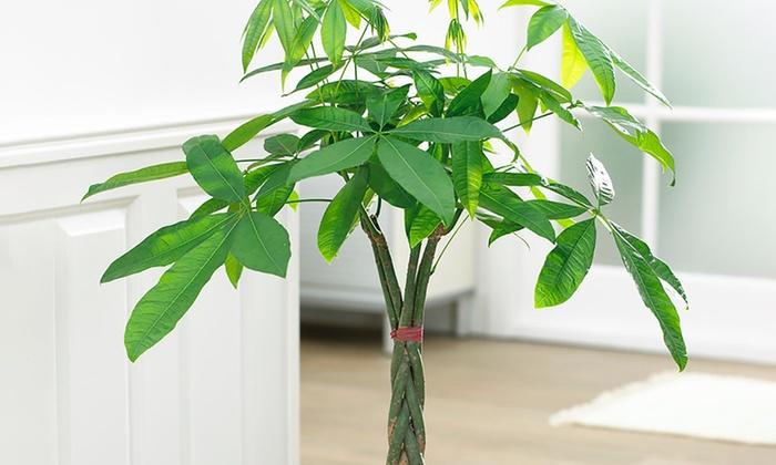 Bonsai Braided Money Tree Potted Plant Groupon