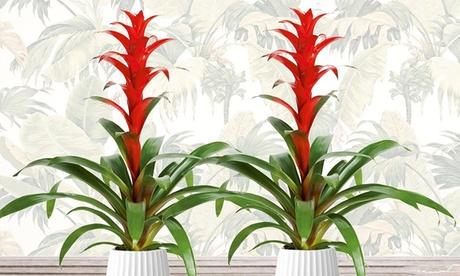 Set de 2 plantas exóticas Guzmania