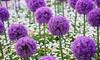 Up to 96 Allium Purple Sensation Bulbs