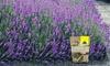 """Lavendel-Hecke """"Blau"""" für 5, 10 oder 15 Meter"""