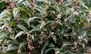 Sarcocca Winter Gem 2L Plant