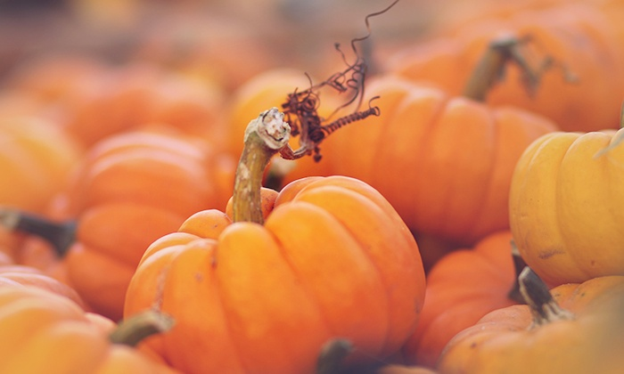 Harvest Tyme Pumpkin Patch - Lowell: Unlimited Access to Fall Attractions for Two or Four at Harvest Tyme Pumpkin Patch (Up to 38% Off)