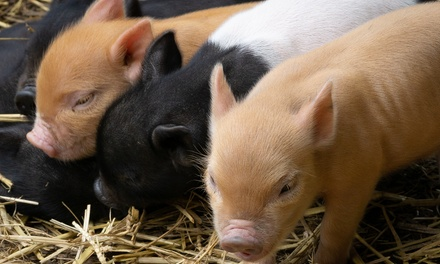 Pet and Play with Miniature Pigs for Up to Four or Pig Enthusiast for Up to Two at Kew Little Pigs