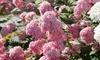 Arbuste Hortensia XL