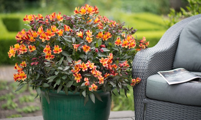 One, Two or Three Hardy Alstroemeria Indian Summer Plants (£8.99)