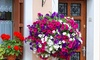 Petunia's voor in de tuin