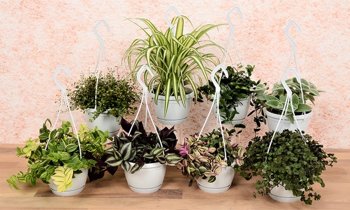 Plantas Colgantes De Interior Groupon - Plantas-colgantes-de-interior