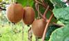 Conjunto de 3 o 6 plantas de kiwiActinidia Deliciosa