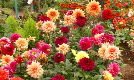 Dahlia Collection Four or Eight Plants from £8.99 With Free Delivery