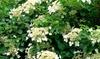 Plantas de hortensia petiolaris rampicante