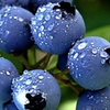 Pre-Order: Blueberry Mixed-Variety Seedlings (1-3ft.)