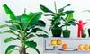 2er-Set Bananen-Pflanzen