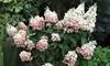 "Plante ""Hydrangea Pink Diamond"""