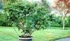 1 ou 2 figuiers Ficus Carica XL