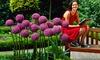 Giant Allium Giganteum Flower Bulbs (3-, 6-, or 9-Pack): Pre-Order: Giant Allium Giganteum Flower Bulbs (3-, 6-, or 9-Pack)