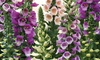 Foxglove Dalmation Mixed - 24, 48 or 72 Plants