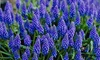 Grape Hyacinth Flower Bulbs (50-Pack): Grape Hyacinth Flower Bulbs (50-Pack)