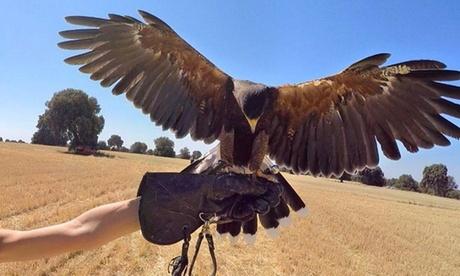 Experiencia de cetrería: vuela un águila y posar con el ave para 1 o 2 personas desde 34,95 € con Emociones al Vuelo