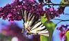 Plantes à papillons OH2