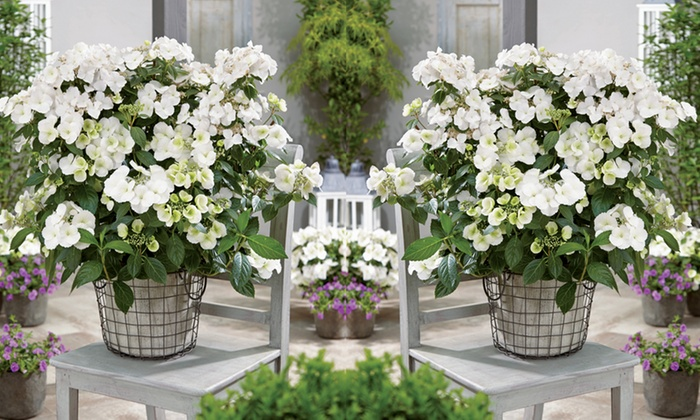 One, Two or Three Hydrangea Hybrid Runaway Brides with Optional Patio Pots (£9.98)