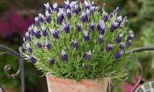 Terrazza e giardino offerte promozioni e sconti for Pianta lavanda in vaso