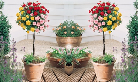 Rose Tri-Colour Standard Plant