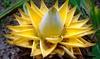 Flor de loto dorada