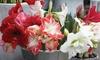 Amaryllis Holiday Mix Bulbs (5-Pack): Amaryllis Holiday Mix Bulbs (5-Pack)