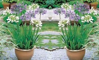 Agapanthus Blue and White Collection - 6 or 12 Plants