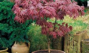Lot de 2 érables pourpres du Japon, Acer palmatum Atropurpureum