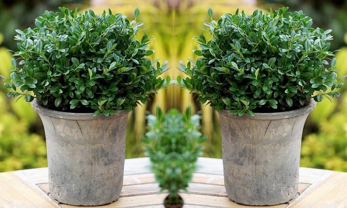jusqu 39 63 plantes ilex luxus bush groupon. Black Bedroom Furniture Sets. Home Design Ideas