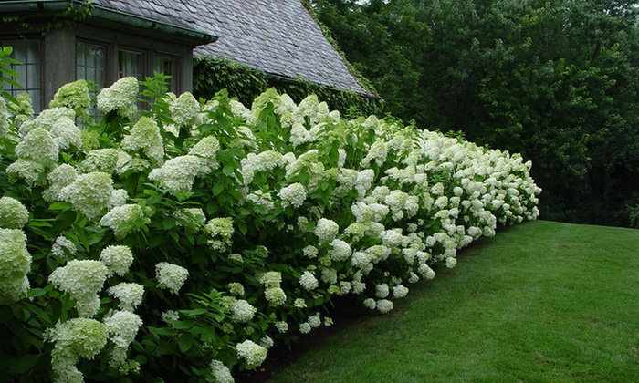 9 Of 18 Witte Pluimhortensia S Groupon