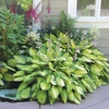 Mixed Heart-Shaped Hosta Bare Roots (6-, 12-, or 24-Pack)