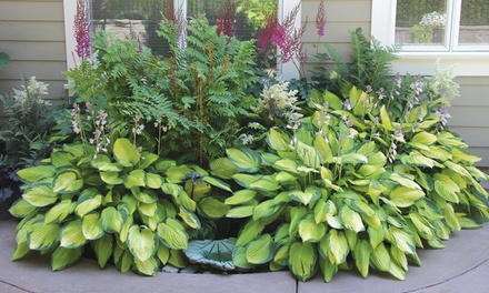 Mixed Heart-Shaped Hosta Bare Roots (6-, 12-, or 24-Pack with Planting Shovel)