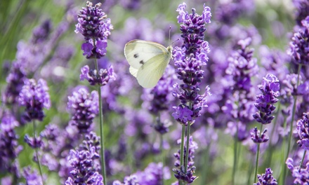 18 Lavender Plants for £4.99 With Free Delivery