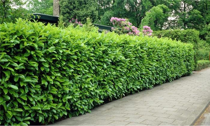 Gardening express evergreen laurel hedge plants 5 163 49 99 10 163