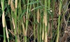 1 lot de 2 ou 4 Bambous Fargesia robusta campbell