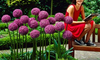 Pre-Order: Giant Allium Flower Bulbs (3-, 6-, 9-Pack)