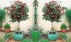 One or Two Suttons Red Robin Standard Photinia Plants