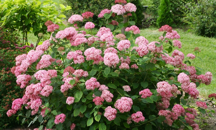 hydrangea pink annabelle plant groupon. Black Bedroom Furniture Sets. Home Design Ideas