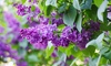 Spring/Summer 2019 Fragrant Lilac Potted Plant Collection