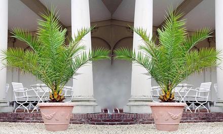 1, 2 of 4 Canarische palmbomen
