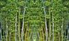 Bambou Blue Dragon 55-70 cm
