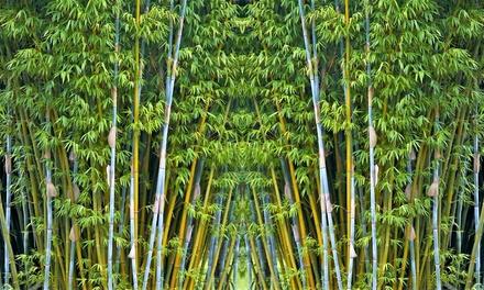"""Jusquà 3 plantes 55-70cm bambous Fargesia """"Blue Dragon"""" (SaintEtienne)"""