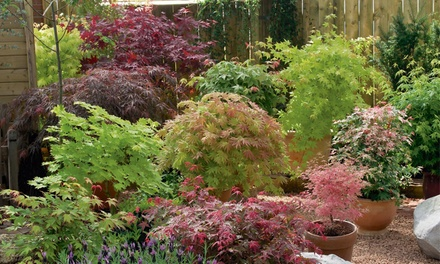 Acer Japanese Maple Lucky Dip Up to 6 Plants with Optional Patio Pots