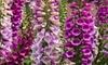 Three Foxglove Digitalis Dalmatian Mix Plants