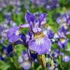 Siberian Iris Caesar's Brother Bare Roots (3-Pack)